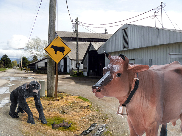 Two Ways of Life, Cow Sign, Skagit Valley